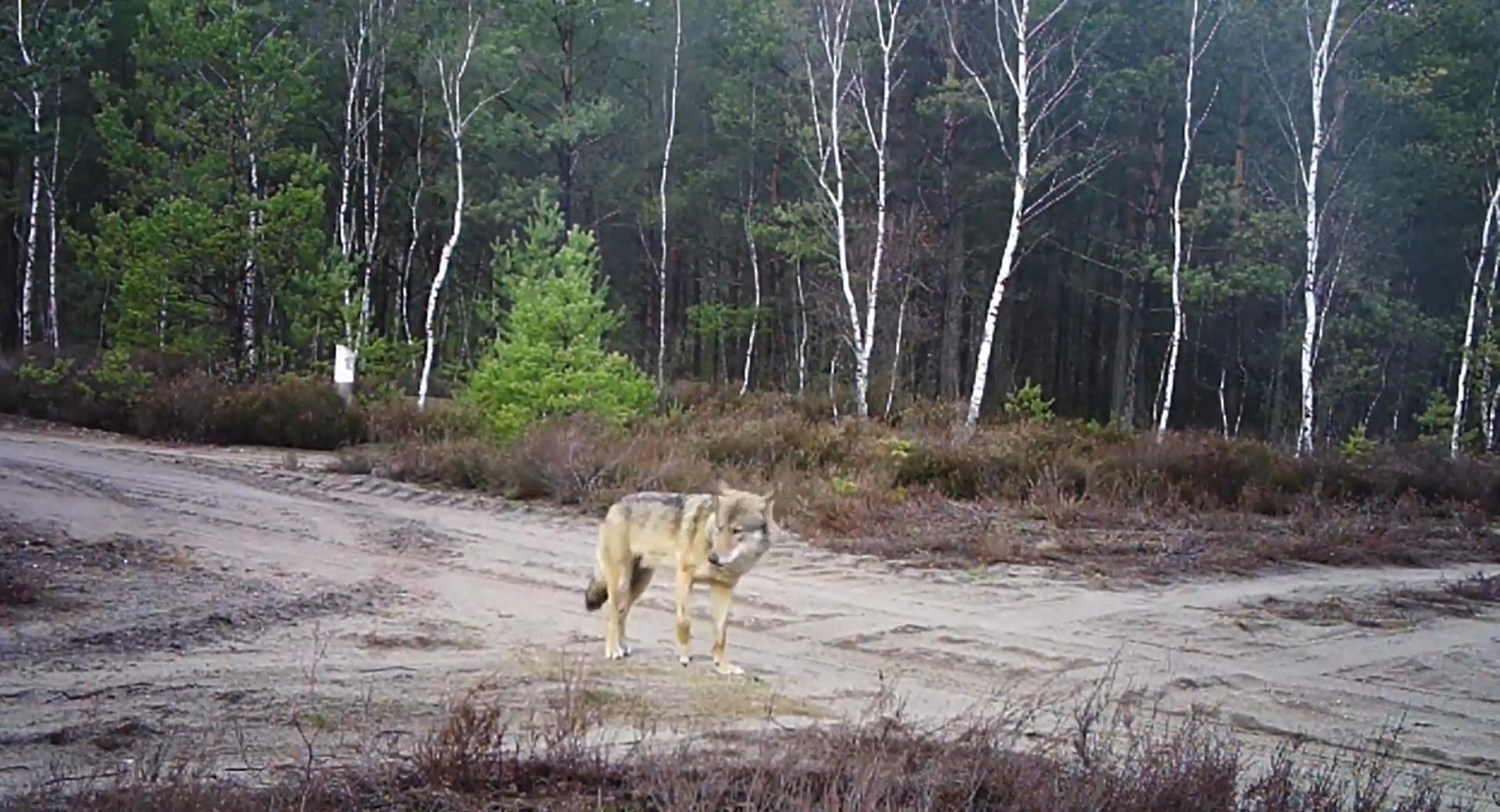 Chocianowskie wilki w ukrytej kamerze (wideo)